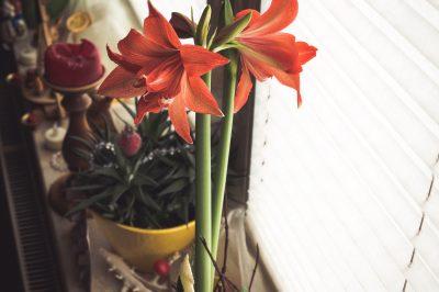 Blume zum Advent